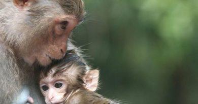 Desgarrador: bebé mono quiere despertar a su mamá muerta
