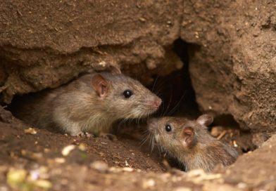 """En pleno brote de hantavirus, un vecino cría ratas y dice que son """"animalitos de Dios"""""""