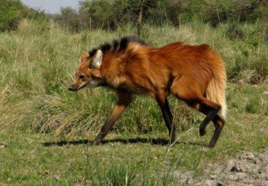 Alegría: Aparecieron dos aguará guazú salvajes en un campo de arroz