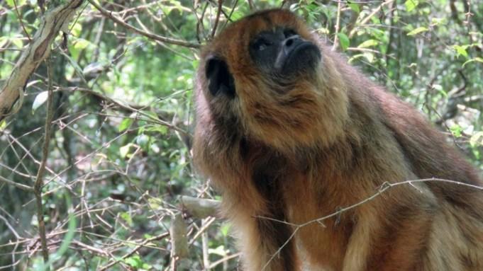 mono caraya