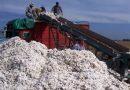 Finalizaron los ciclos de los cultivos de algodón y de sorgo granífero